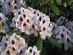 Calsap Rhododendron (Rhododendron 'Calsap') at Van Atta's Greenhouse
