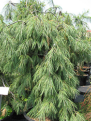Weeping White Pine (Pinus strobus 'Pendula') at Van Atta's Greenhouse