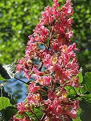 Red Horse Chestnut (Aesculus x carnea) at Van Atta's Greenhouse