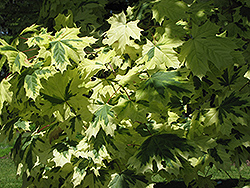 Variegated Norway Maple (Acer platanoides 'Variegatum') at Van Atta's Greenhouse