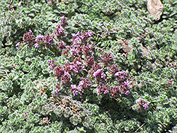 Wooly Thyme (Thymus pseudolanuginosis) at Van Atta's Greenhouse