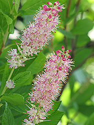 Ruby Spice Summersweet (Clethra alnifolia 'Ruby Spice') at Van Atta's Greenhouse