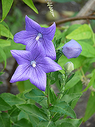Balloon Flower (Platycodon grandiflorus) at Van Atta's Greenhouse