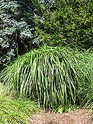 Malepartus Maiden Grass (Miscanthus sinensis 'Malepartus') at Van Atta's Greenhouse