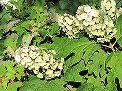 Snow Queen Hydrangea (Hydrangea quercifolia 'Snow Queen') at Van Atta's Greenhouse
