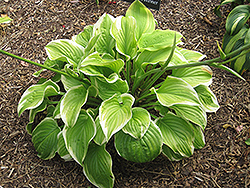 Fragrant Bouquet Hosta (Hosta 'Fragrant Bouquet') at Van Atta's Greenhouse