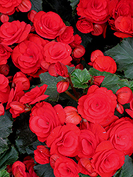 Nonstop® Red Begonia (Begonia 'Nonstop Red') at Van Atta's Greenhouse
