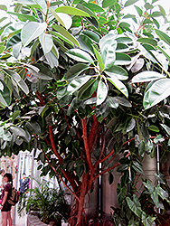 Rubber Tree (Ficus elastica) at Van Atta's Greenhouse