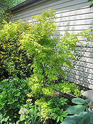 Orange Dream Japanese Maple (Acer palmatum 'Orange Dream') at Van Atta's Greenhouse