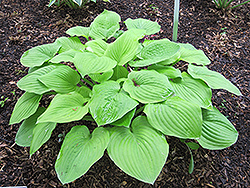 August Moon Hosta (Hosta 'August Moon') at Van Atta's Greenhouse