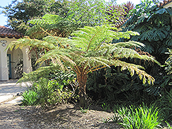 Australian Tree Fern (Cyathea cooperi) at Van Atta's Greenhouse