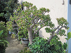 Jade Plant (Crassula ovata) at Van Atta's Greenhouse