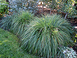Moudry Fountain Grass (Pennisetum alopecuroides 'Moudry') at Van Atta's Greenhouse