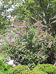 Pink Delight Butterfly Bush (Buddleia davidii 'Pink Delight') at Van Atta's Greenhouse