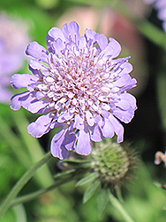 Butterfly Blue Pincushion Flower (Scabiosa 'Butterfly Blue') at Van Atta's Greenhouse