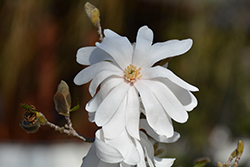 Star Magnolia (Magnolia stellata) at Van Atta's Greenhouse