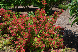Sonic Bloom Red® Reblooming Weigela (Weigela florida 'Verweig 6') at Van Atta's Greenhouse
