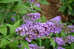 Lo And Behold® Blue Chip Dwarf Butterfly Bush (Buddleia 'Lo And Behold Blue Chip') at Van Atta's Greenhouse