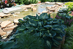 Hudson Bay Hosta (Hosta 'Hudson Bay') at Van Atta's Greenhouse