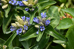Blue Cross Gentian (Gentiana cruciata 'Blue Cross') at Van Atta's Greenhouse