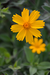 Sunshine Superman Tickseed (Coreopsis pubescens 'Sunshine Superman') at Van Atta's Greenhouse