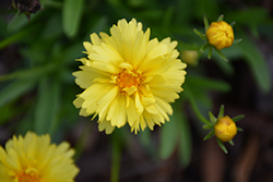 Leading Lady Charlize Tickseed (Coreopsis 'Leading Lady Charlize') at Van Atta's Greenhouse