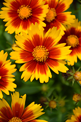UpTick™ Gold and Bronze Tickseed (Coreopsis 'Baluptgonz') at Van Atta's Greenhouse