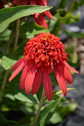 Cone-fections™ Hot Papaya Coneflower (Echinacea 'Hot Papaya') at Van Atta's Greenhouse