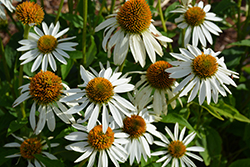Happy Star™ Coneflower (Echinacea purpurea 'Happy Star') at Van Atta's Greenhouse