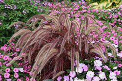 Fireworks Fountain Grass (Pennisetum setaceum 'Fireworks') at Van Atta's Greenhouse