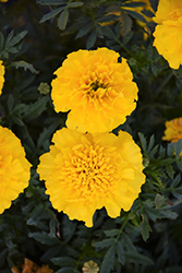Bonanza Yellow Marigold (Tagetes patula 'Bonanza Yellow') at Van Atta's Greenhouse