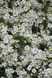 Yo Yo Snow-In-Summer (Cerastium tomentosum 'Yo Yo') at Van Atta's Greenhouse