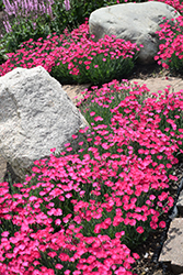 Paint The Town Magenta Pinks (Dianthus 'Paint The Town Magenta') at Van Atta's Greenhouse