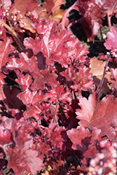 Dolce® Cherry Truffles Coral Bells (Heuchera 'Cherry Truffles') at Van Atta's Greenhouse