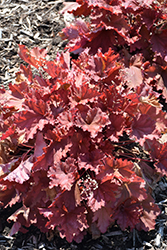 Peachberry Ice Coral Bells (Heuchera 'Peachberry Ice') at Van Atta's Greenhouse