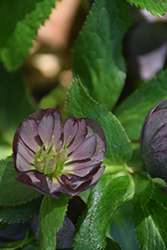 Wedding Party® Dark and Handsome Hellebore (Helleborus 'Dark and Handsome') at Van Atta's Greenhouse