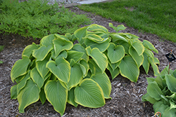 Victory Hosta (Hosta 'Victory') at Van Atta's Greenhouse