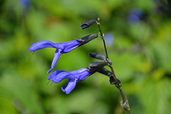 Black And Blue Anise Sage (Salvia guaranitica 'Black And Blue') at Van Atta's Greenhouse