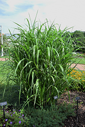 Big Kahuna™ Maiden Grass (Miscanthus sinensis 'Big Kahuna') at Van Atta's Greenhouse