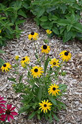 American Gold Rush Coneflower (Rudbeckia 'American Gold Rush') at Van Atta's Greenhouse