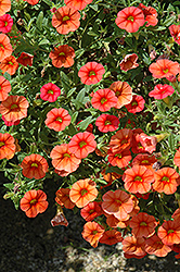 Superbells® Dreamsicle Calibrachoa (Calibrachoa 'Superbells Dreamsicle') at Van Atta's Greenhouse
