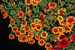 Superbells® Spicy Calibrachoa (Calibrachoa 'Superbells Spicy') at Van Atta's Greenhouse