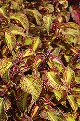 Saturn Coleus (Solenostemon scutellarioides 'Saturn') at Van Atta's Greenhouse