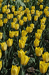 Strong Gold Tulip (Tulipa 'Strong Gold') at Van Atta's Greenhouse