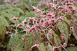 Pink Champagne Fairy Wings (Epimedium 'Pink Champagne') at Van Atta's Greenhouse
