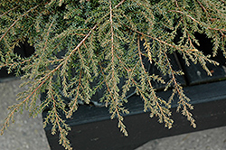 Green Carpet Juniper (Juniperus communis 'Green Carpet') at Van Atta's Greenhouse
