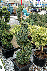 Green Mountain Boxwood (spiral form) (Buxus 'Green Mountain (spiral)') at Van Atta's Greenhouse