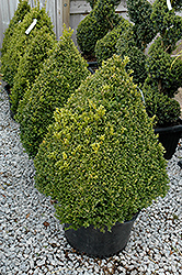 Green Mountain Boxwood (pyramid form) (Buxus 'Green Mountain (pyramid)') at Van Atta's Greenhouse