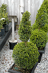 Green Mountain Boxwood (poodle form) (Buxus 'Green Mountain (poodle)') at Van Atta's Greenhouse