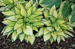 Orange Marmalade Ball Hosta (Hosta 'Orange Marmalade') at Van Atta's Greenhouse